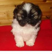 Shih tzu puppy for nice homes