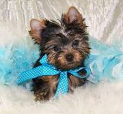 Adorable Yorkshire Terrier Puppies Now Ready