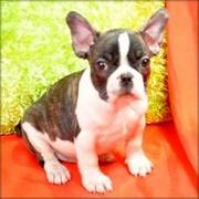 Beautiful Life time Health Guarantee French Bulldog Puppies
