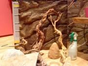 1 male bearded dragon with vivarium