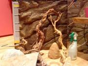 1 male bearded dragon with vivarium