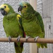 sweet machaw parrots up for adoption